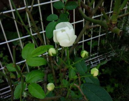 秋の白バラ.jpg